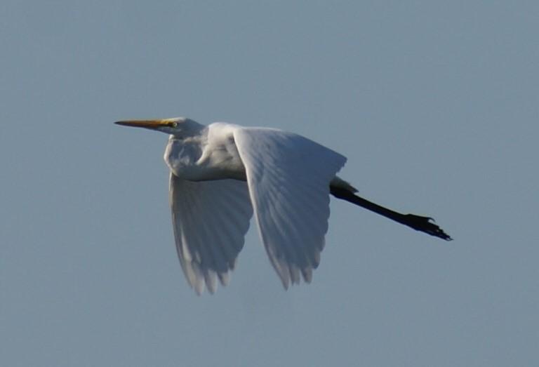 GB-Great-Egret-jc.JPG
