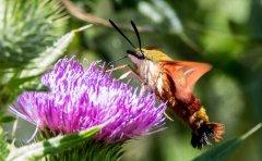 Gi-Hummingbird-Clearwing-Moth-Matchedash-002rh.jpg
