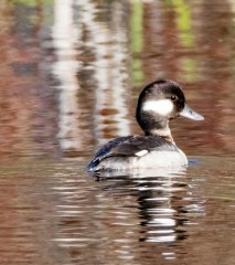 Gf-Bufflehead-TinyMarsh-rc-001.jpg