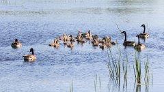 Gf-Canada-Geese-Goslings-Matchedash-0011.jpg