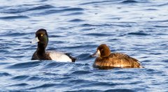 Gf-Lesser-Scaup-TinyMarsh-rc-001.jpg