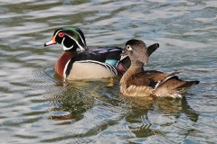 Gf-WoodDuck-am-website.jpg