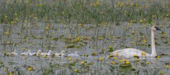 Gf1TrumpeterSwan-family-with-waterliliesjh.jpg