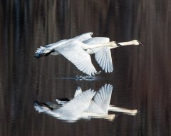 Gf3-TrumpeterSwans-Take-Flight-rc-TinyMarsh003.jpg
