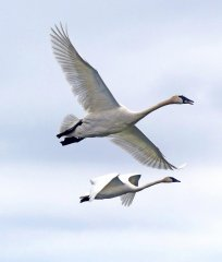 Gf4-Trumpeter-swans-in-flight-jh.jpg